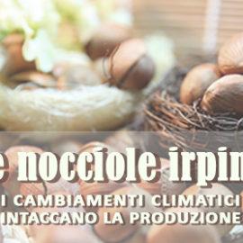 Le nocciole irpine: i cambiamenti climatici intaccano la produzione